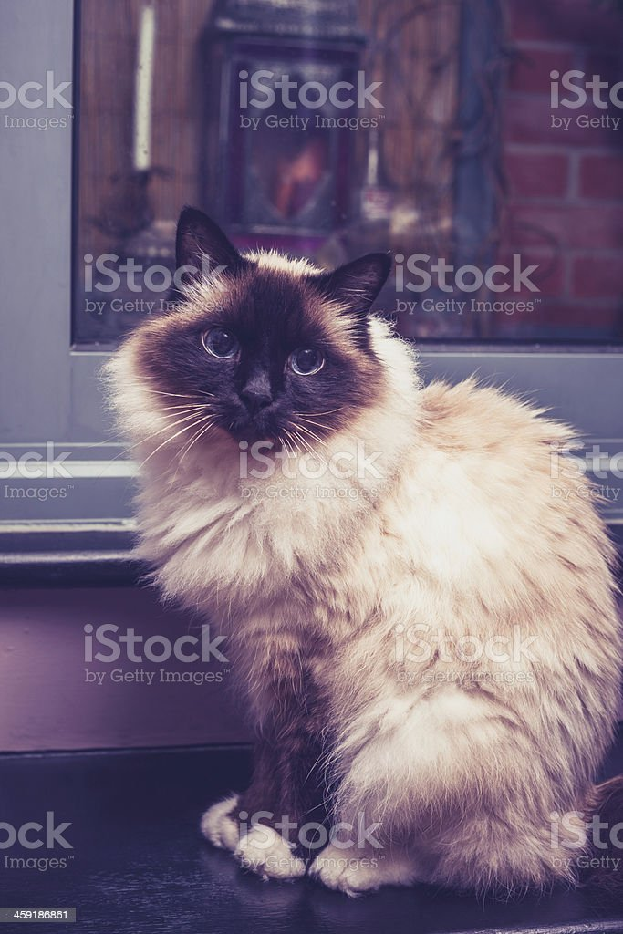 Birman cat sitting by door stock photo