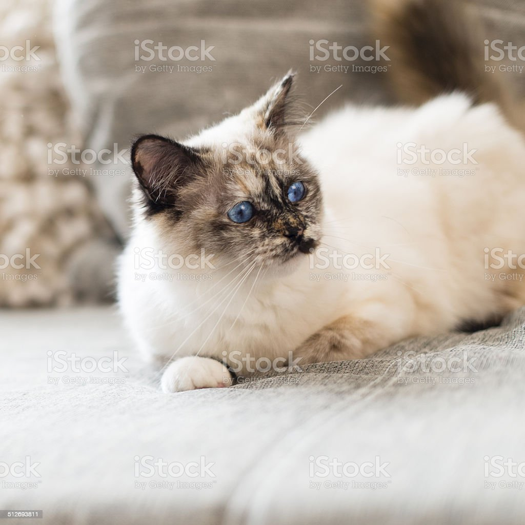 Birman cat surprised and lengthened out on sofa stock photo