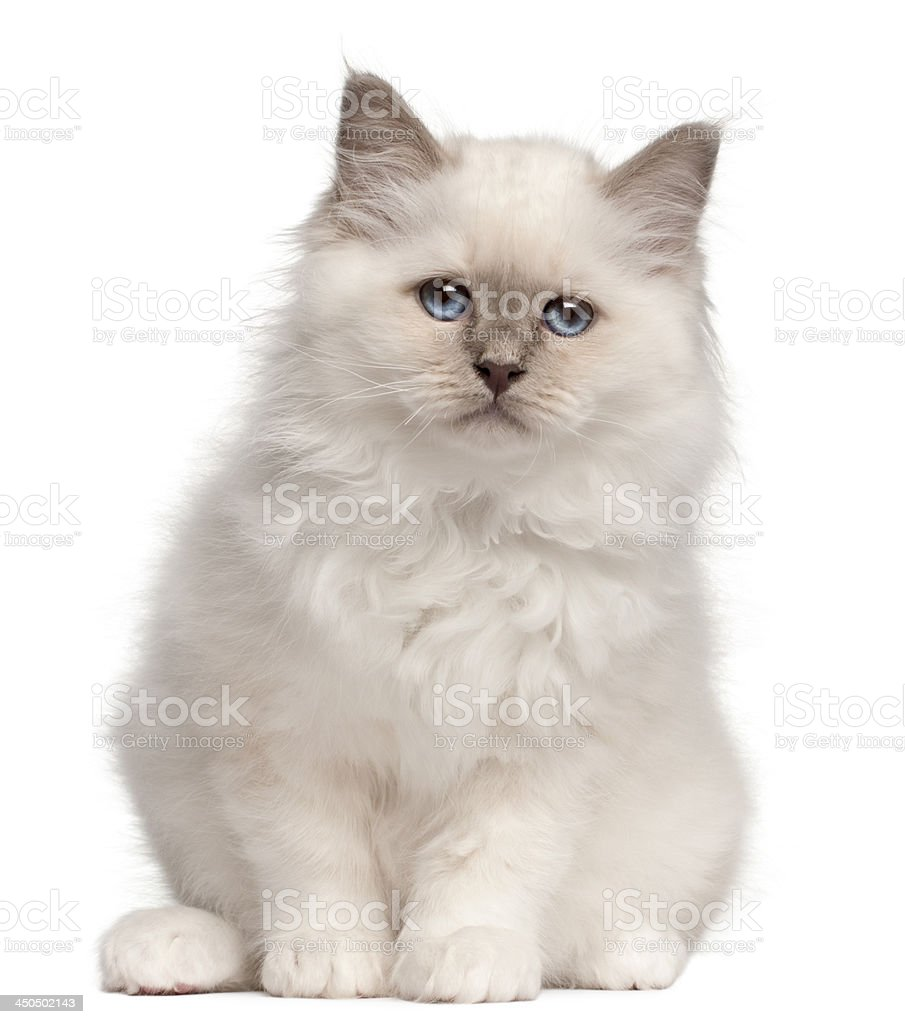 Birman kitten, 10 weeks old stock photo