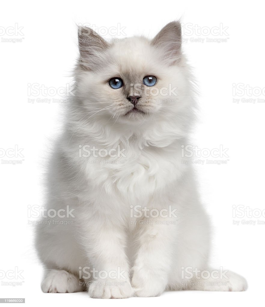 Birman kitten, 10 weeks old, sitting, white background. stock photo