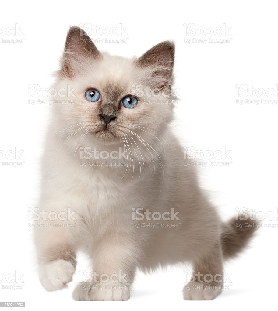 Birman kitten, 3 months old, standing stock photo