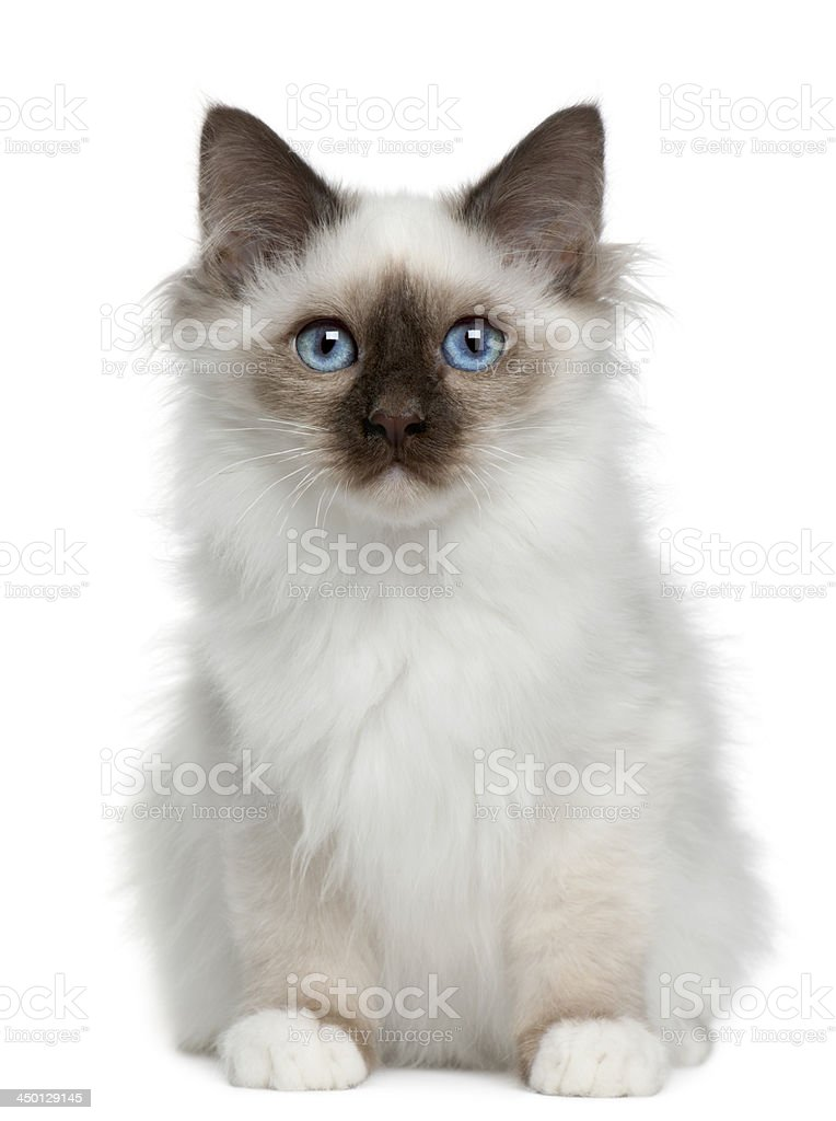 Birman kitten, 4 months old stock photo