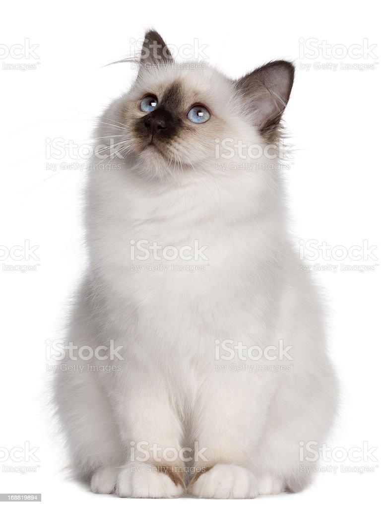 Birman kitten, 4 months old, sitting and looking up stock photo