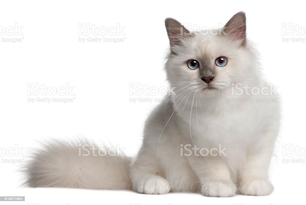 Birman Kitten, 4 months old, sitting stock photo