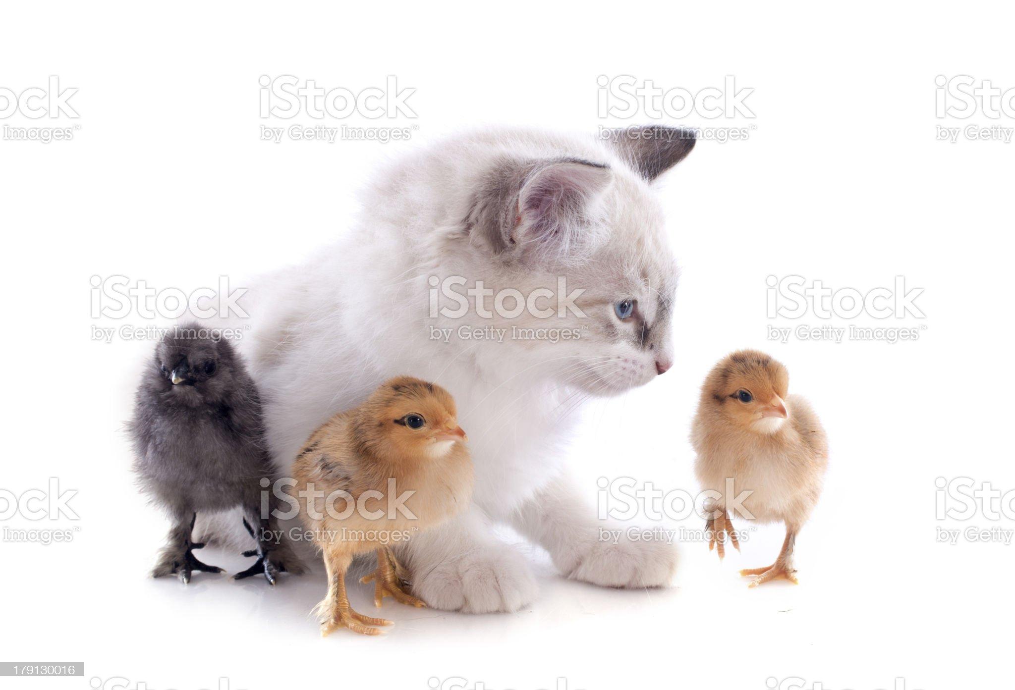 birman kitten and chicks royalty-free stock photo