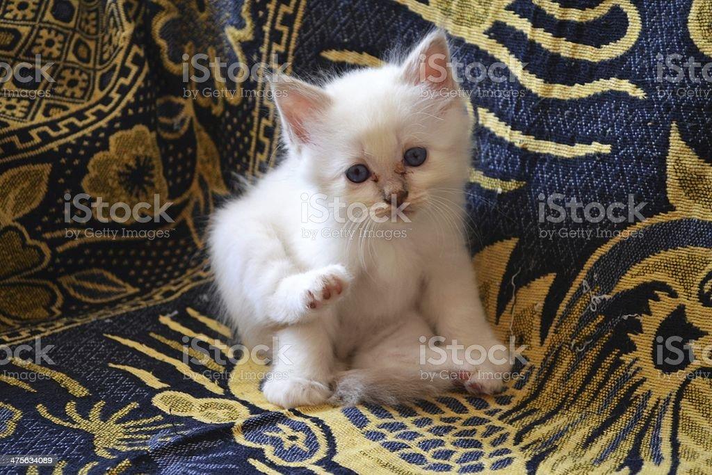 Birman Kitten blue tabby stock photo