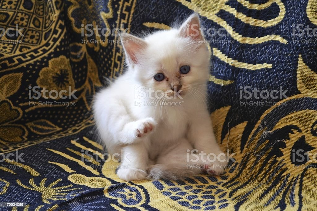 Birman Kitten blue tabby stock photo
