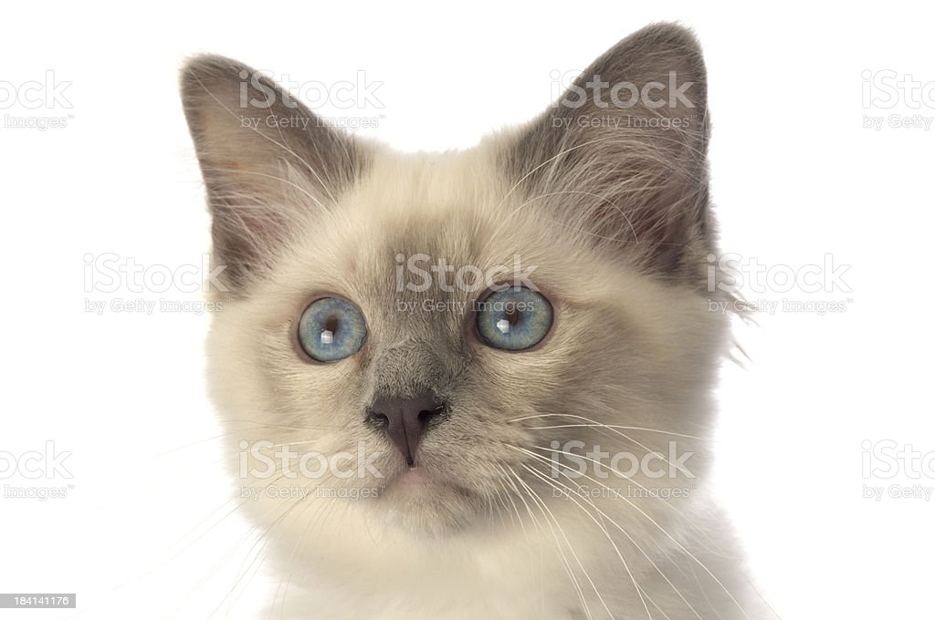 Birman kitten head. stock photo
