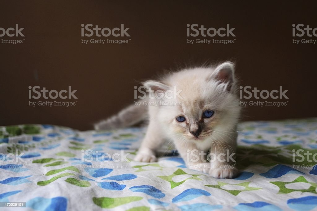 Birman Kitten stock photo