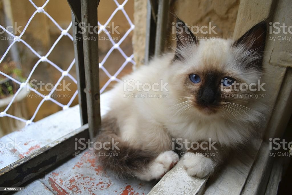 Birman kitten seal point at the window stock photo