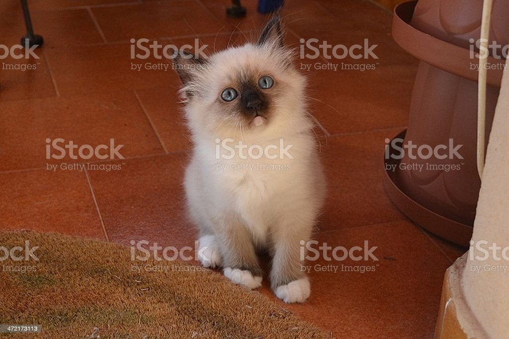 birman kitten seal point stock photo