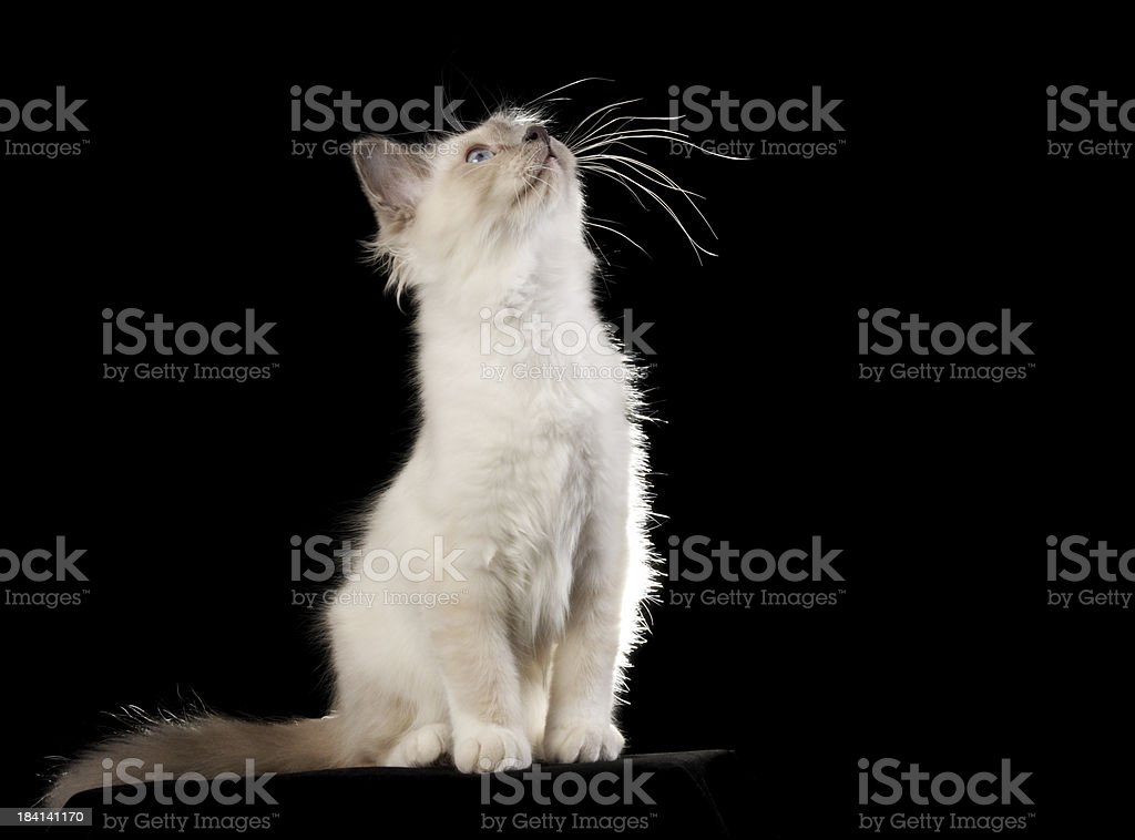 Birman kitten stretching up on black. stock photo