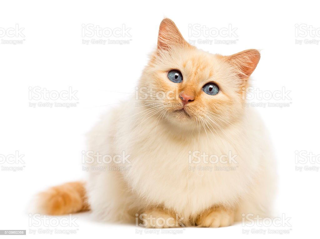 Birman lying and looking at camera against white background stock photo
