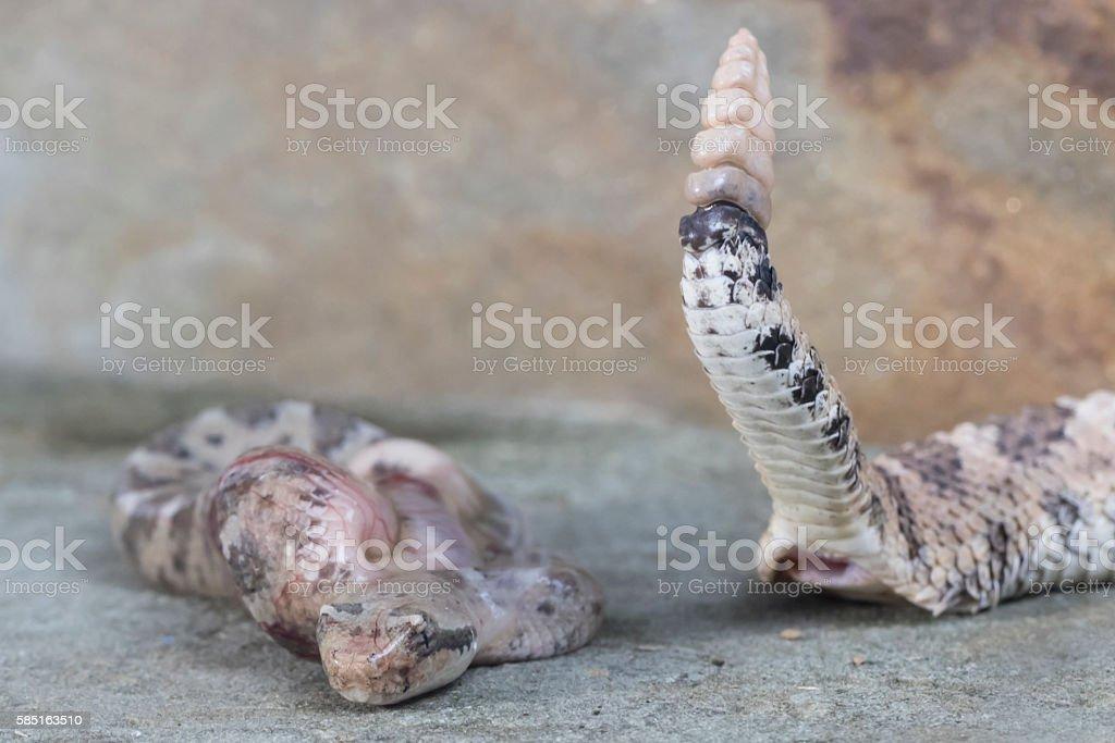 Birth of a Baby Sidewinder Rattlesnake stock photo