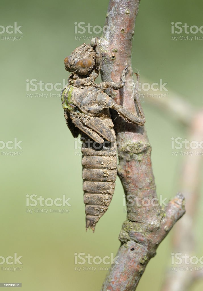 Birth of a dragonfly (series 5 photos) royalty-free stock photo