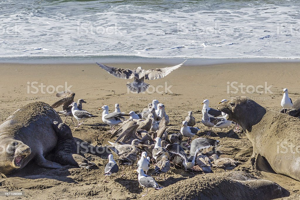 Birth of an Elephant Seal stock photo