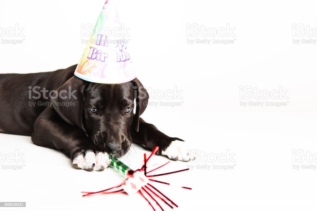 Birthday Great dane puppy stock photo