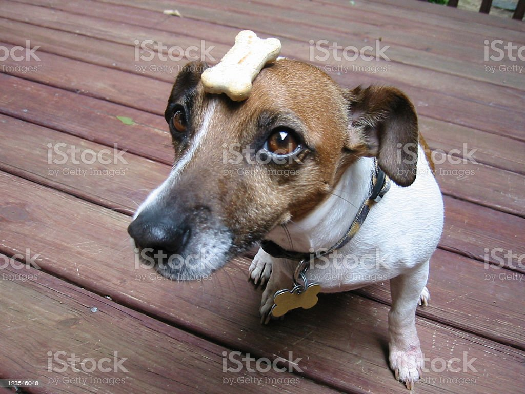 Biscuit on dog's head royalty-free stock photo