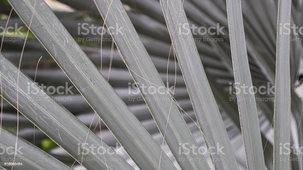 Bismarck Palm Leaves Arranged stock photo