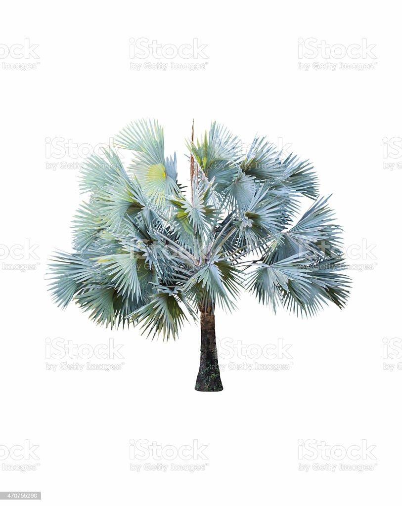 Bismarck Palm tree ( Bismarck Nobilis ) on white stock photo