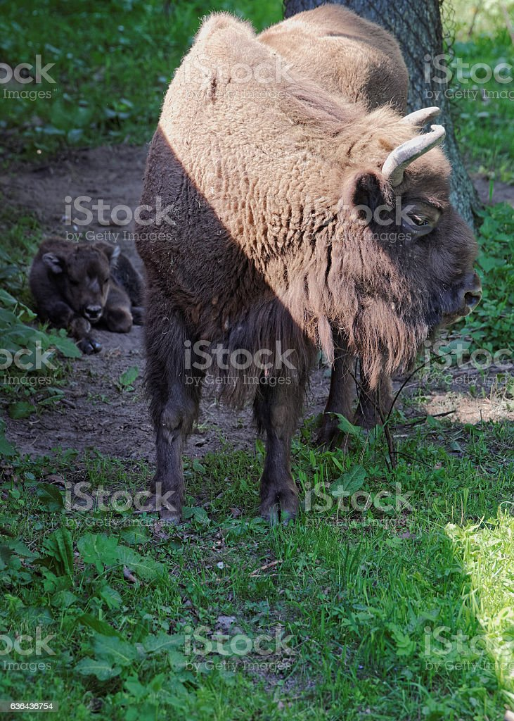 Bison and calf in Bialowieza National Park in Poland stock photo