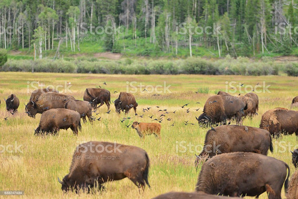 bison and calf stock photo