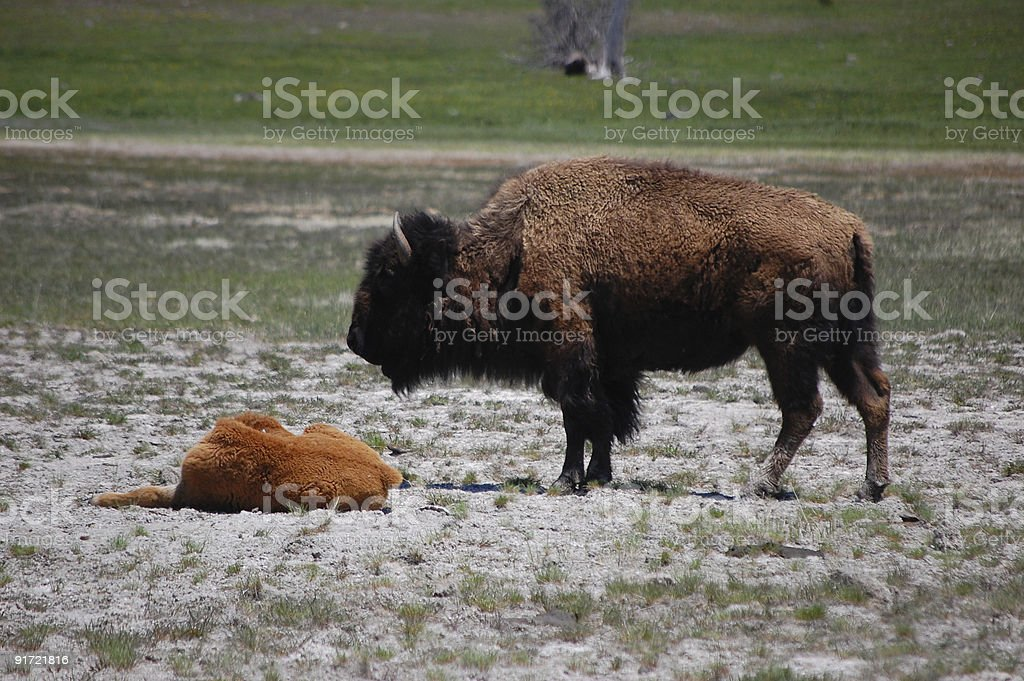Bison and calf royalty-free stock photo