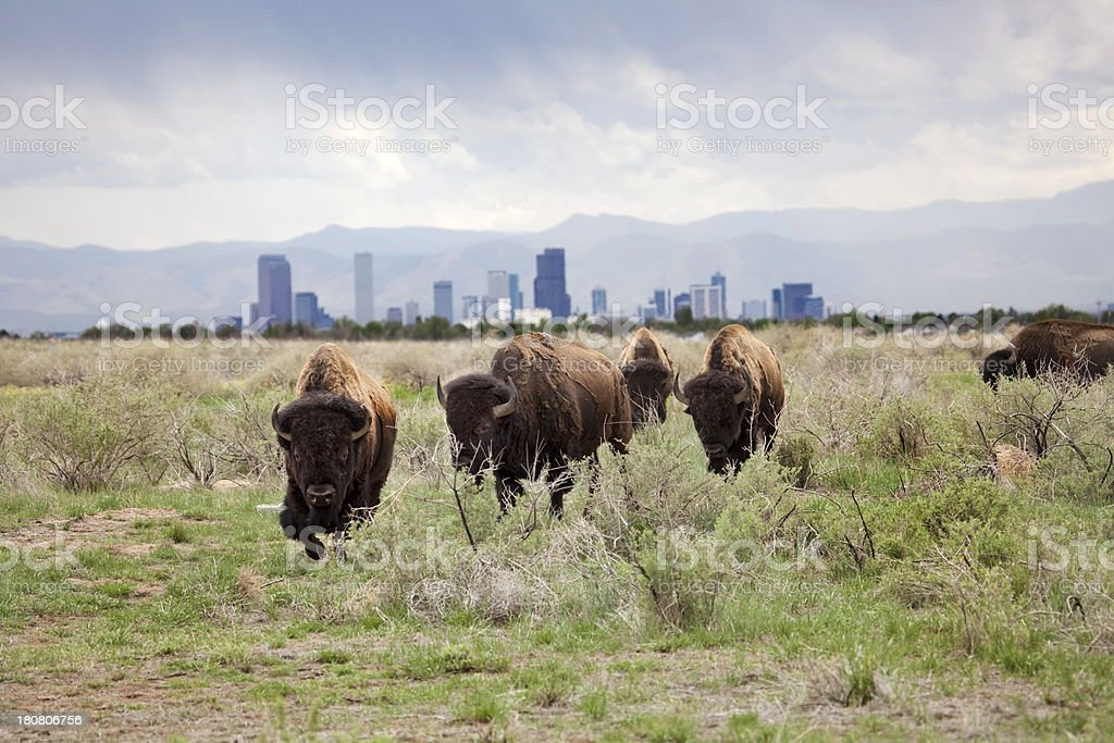Bison and downtown Denver skyscrapers stock photo