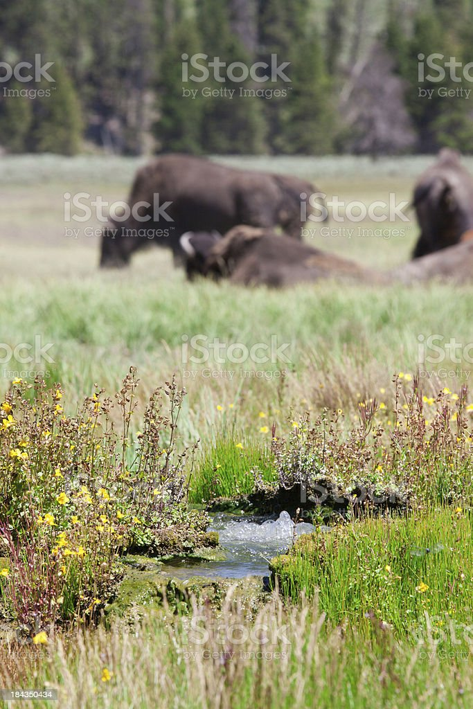 Bison and Hot Spring stock photo