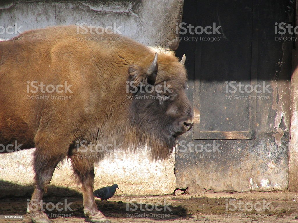 Bison and  pigeon royalty-free stock photo