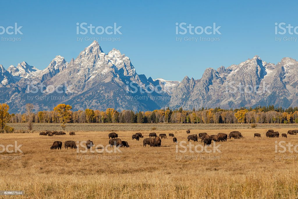 Bison and Tetons in Fall stock photo