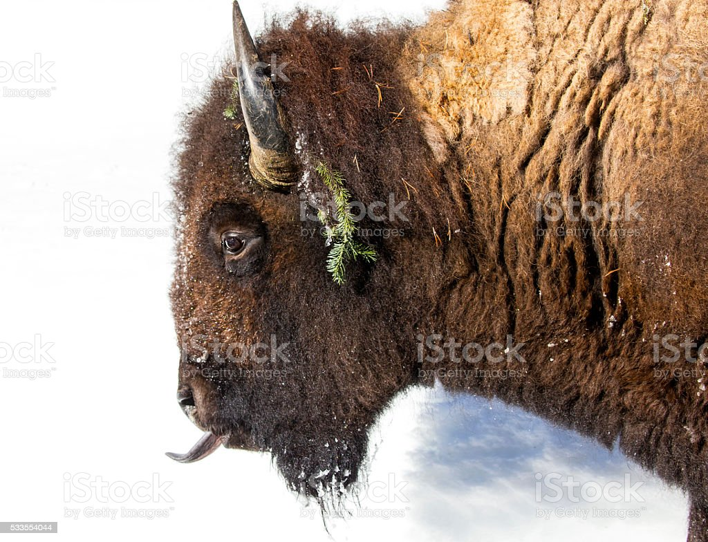 Bison and Tongue stock photo