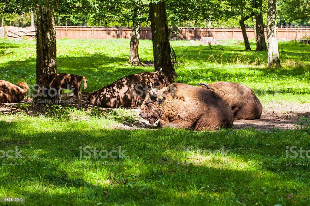 bison are in the Bialowieza National Park stock photo