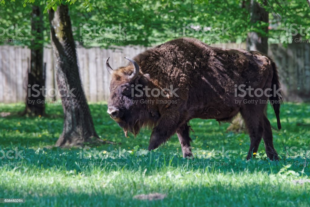 Bison at Bialowieza National Park of Poland stock photo