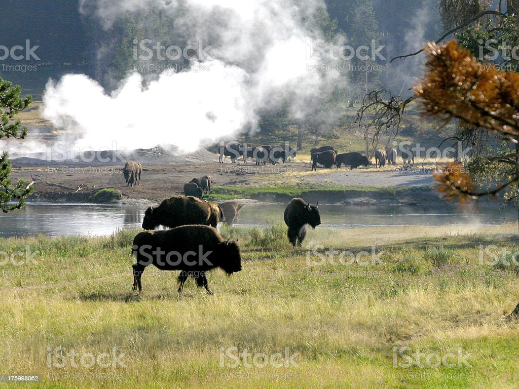 Bison at the Geyser stock photo