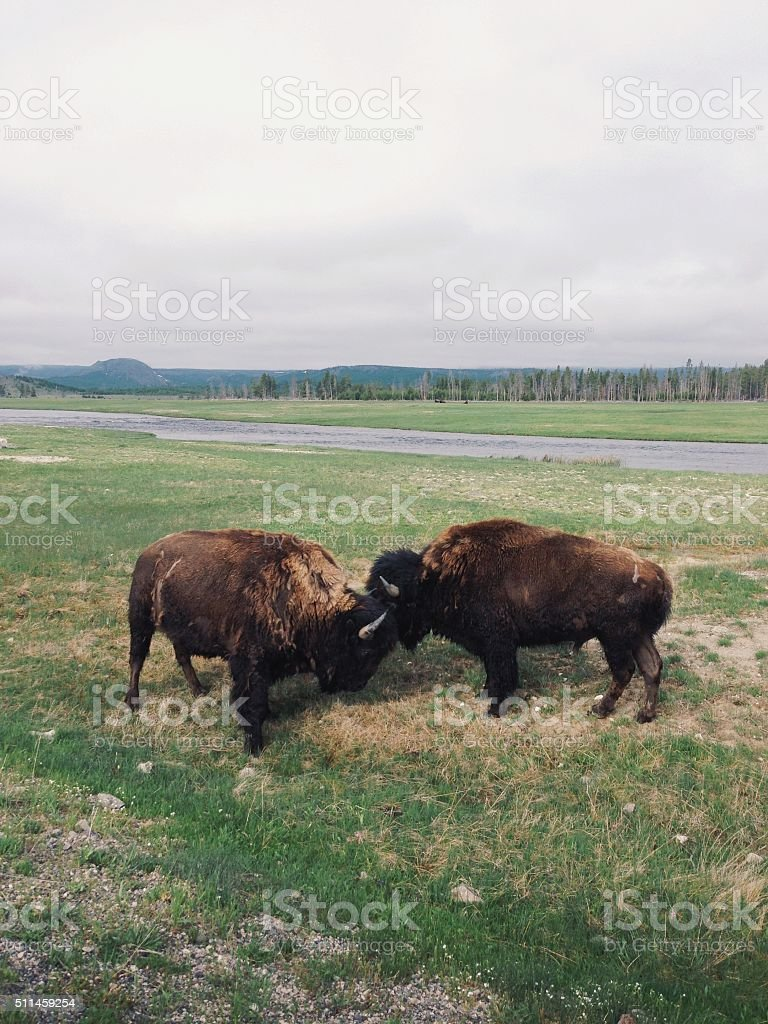 Bison Battle royalty-free stock photo