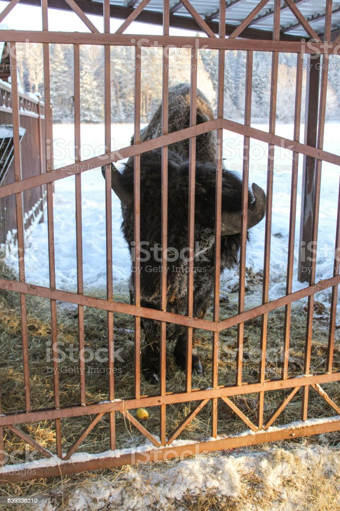 Bison behind the fence. stock photo