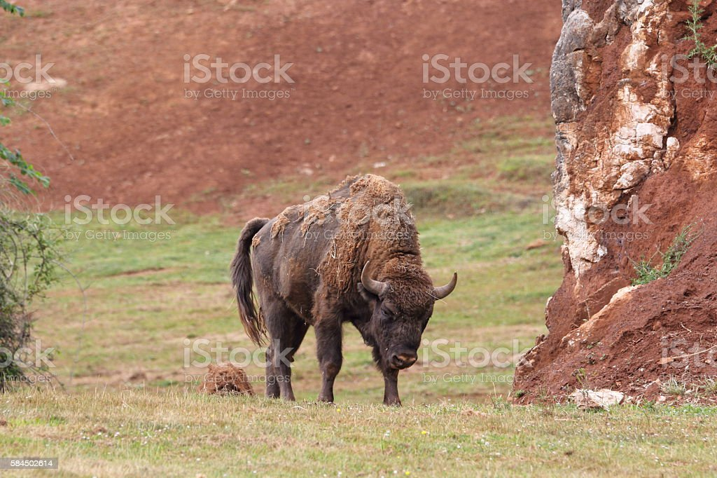 Bison bonasus stock photo