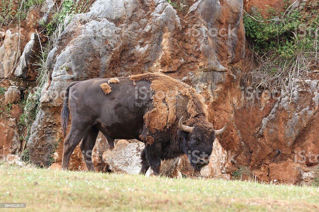 Bison bonasus stock photo
