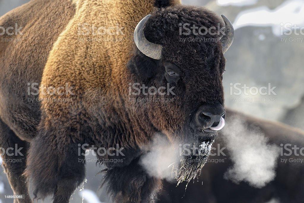 Bison breath stock photo