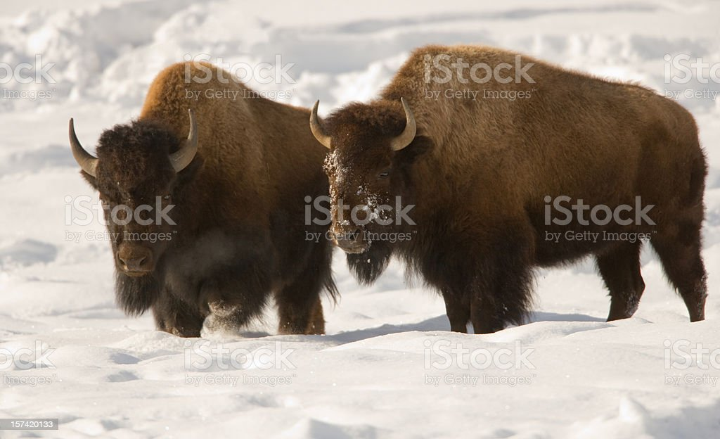 Bison Brothers stock photo