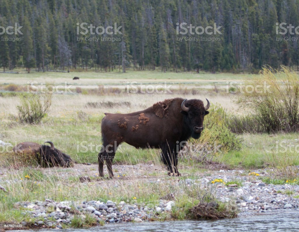 Bison Buffalo Bull standing next to Pebble Creek in the Lamar Valley in Yellowstone National Park in Wyoming USA stock photo