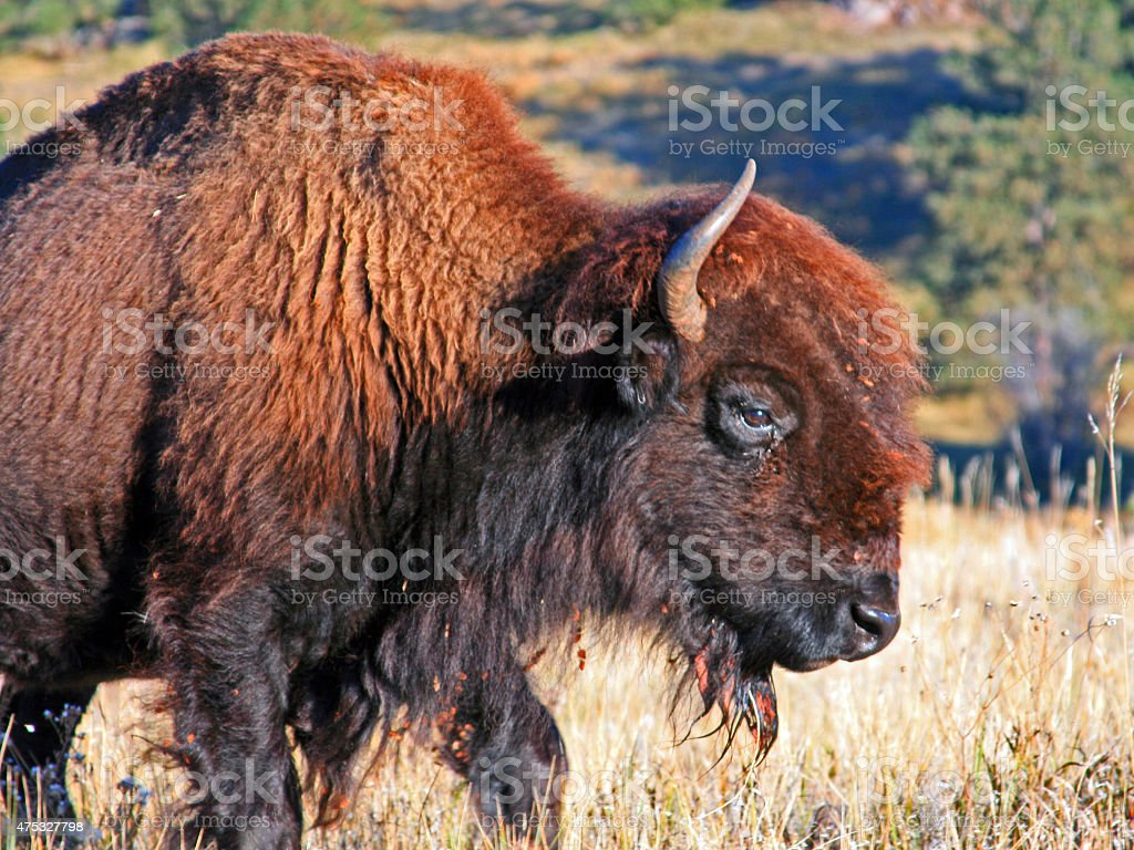 Bison Buffalo Wind Cave National Park Black Hills stock photo