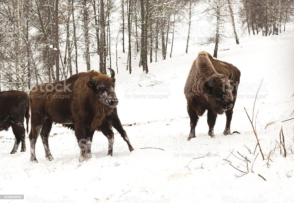 Bison bull and cow with calf. Snow and forest background. stock photo
