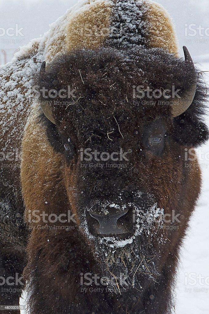 Bison Bull Closeup stock photo