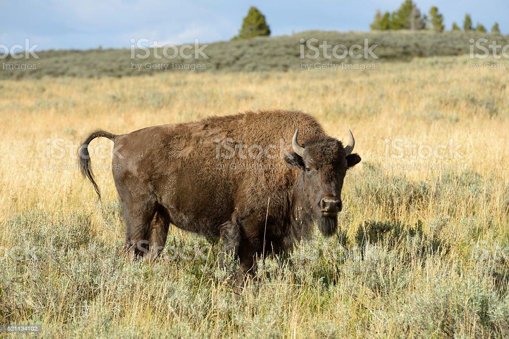 Bison Bull stock photo