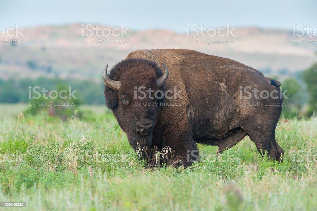Bison Bull, Summer, near Burford Lake, Wichita Mountains, Oklahoma stock photo
