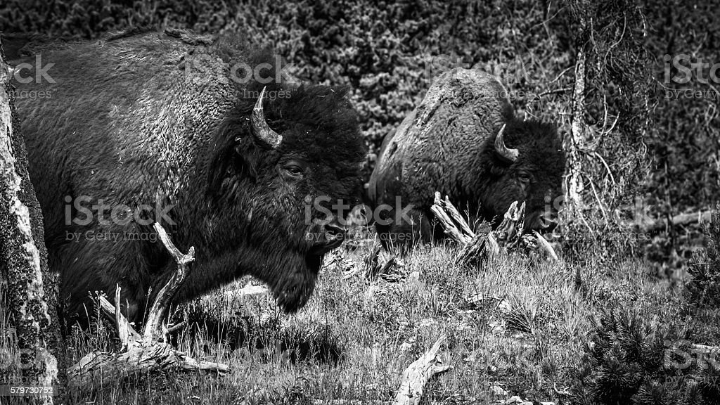 Bison by Two stock photo