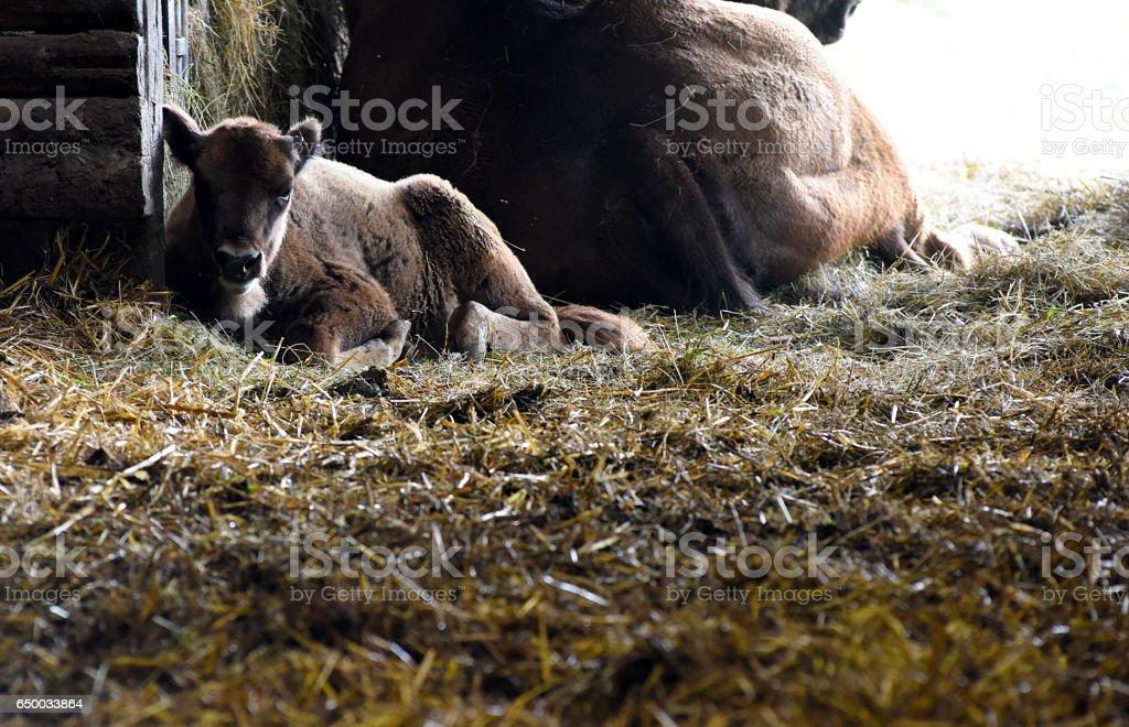 Bison Calf stock photo