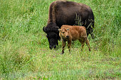 Bison Calf with Adult Grazing